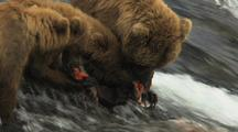 Brown Grizzly Bears  Cubs Share Salmon With Mother Along Wild Rushing River During Hungry Mealtime