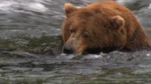 Brown Grizzly Bear Resting, Snoozing, Sleeping Wild Alaska Wildlife Katmai Sockeye