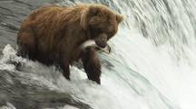 Grizzly Catches Jumping Salmon