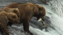 Brown grizzly bears catching jumping salmon jump into mouth wild alaska wildlife katmai sockeye
