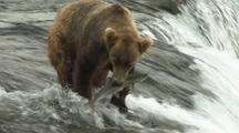 Brown Grizzly Bears And Cubs Catching Jumping Salmon Jump Into Mouth Wild Alaska Wildlife Katmai Sockeye