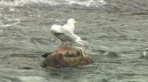 Sea Gulls Waiting For Fish Scraps In Alaska River