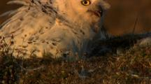 Snowy owl feeding lemming to chick in Arctic