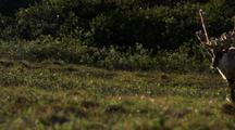 Caribou in Alaska National WIldlife Refuge ANWR porcupine caribou herd in 1002 lands arctic oil controversy