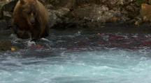 Brown Bear Grizzly Bear Trying To Catch Sockeye Salmong Fishing Alaska Fisheries Wildlife