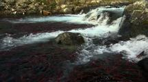 Sockeye Salmon Red Salmon In River With Brown Bear Fishing Alaska Fisheries Wildlife