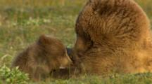 Brown Bear Grizzly Bear Female Nursing Cubs Feeding Baby Bears