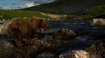 Brown Bear Grizzly Bear  Fishing In Alaska River Catching Salmon