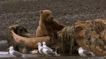 Brown Bear Grizzly Bear Feeds On Dead Humpback Whale On Alaska Beach