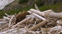 Brown Bear Grizzly Bear Walks Through Driftwood Pile Near Dead Whale