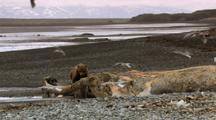 Brown Bear Grizzly Bear Feeds On Dead Humpback Whale Alaska