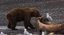 Brown Bear Grizzly Bear Paws Around And Tugs On Dead Humpback Whale Alaska