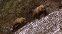 Brown Bear Mother And Older Cub Walk Through Bushes Then Onto Snowy Slope
