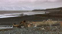 Brown Bear Grizzly Bear Feeds On Dead Humpback Whale Alaska