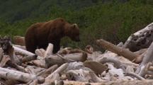 Brown Bear Walks Over Beach Logs, Alaska