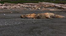Brown Bear Grizzly Bears Feed On Dead Humpback Whale