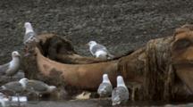 Gulls Feed On Whale Carcass Alaska