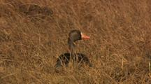 Greater White-Fronted Goose Forages On Tundra