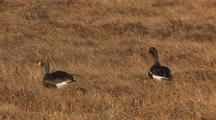 Greater White-Fronted Geese Forage On Tundra