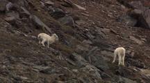 Dall Sheep Playful Lambs On Rocky Slope Alaska