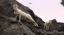 Dall Sheep Ewe With Lamb Scratches Back On Rocky Slope Alaska