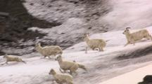 Dall Sheep And Lambs Run Across Rocky Alaska Slope