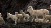 Dall Sheep And Flock Of Lambs On Rocky Alaska Slope