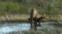 moose calf and female moose in alaska wetland