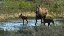 moose calf and female moose in alaska wetland