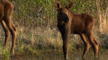 Newborn Moose Calf And Female Moose In Alaska Wetland