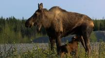 Female Moose Nurses Twin Calves In Alaska Wetland