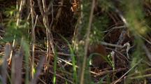 red-backed vole in forest undergrowth