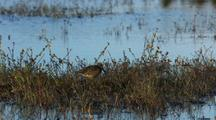 short-billed dowitcher foraging in marsh near water, shorebird, scolopacidae