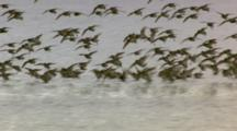 large flocks of shorebirds flying and foraging on mudflats cordova alaska