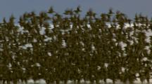 big flock of shorebirds flying and resting in Cordova Alaska