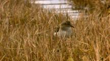 western sandpiper feeding in water marsh Cordova Alaska