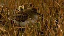 western sandpiper feeding in water marsh Cordova Alaska