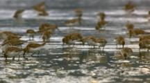 western sandpiper flock resting, feeding, flying tidal mudflats Cordova, Alaska