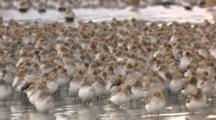 thousands of shorebirds flock during migration through tidal mudflats Cordova Alaska