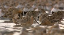 Short-Billed Dowitcher In Shorebird Flock Feeding In Water On Tidal Mudflats Cordova Alaska