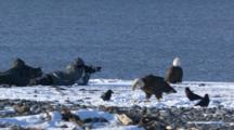 people photographing bald eagles feeding on the beach in Alaska