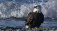 Bald Eagles Feeding On Beach In Alaska