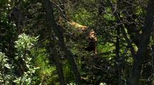 bown bear sow with two cubs in lush forest  Alaska