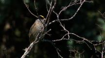 territorial male golden-crowned sparrow singing in trees in Alaska