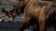 Brown Bear Grizzly Bear Chasing And Catching Brilliant Red Sockeye Salmon Alaska River