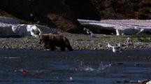 Brown Bear Grizzly Bear Mother Catches Red Salmon Leaves Frame With One Cub In Pursuit
