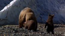 Brown Bear Grizzly Bear Mother Sow And Cubs Stand Up Afraid Adult Brown Bear Run Away