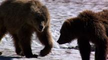 Brown Bear Grizzly Bear Playing Play Fighting Sparring Rumbling Wrestling Having Fun On Summer Snowbank