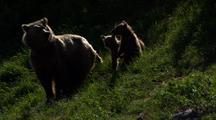 Brown Bear Grizzly Bear Mother Sow And Cubs On Green Hillside Flee Run From Danger