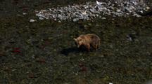 Looking Down View From Above Brown Bear Grizzly Bear With Cubs Pursues And Catches Red Salmon In River